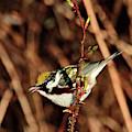 Perky Little Warbler by Debbie Stahre