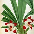 Pescatorea Klabochurum Lindenia Orchid by Jean Jules Linden