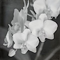 Phalaenopsis Orchid Monochrome By Tl Wilson by Teresa Wilson
