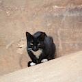 Pharaoh Cat by Melvin Jamison