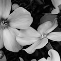 Phlox And Blackeyed Susan In Black And White by Rich Ackerman