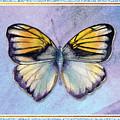Pieridae Butterfly by Amy Kirkpatrick