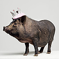 Pig With Toy Crown On Head, Studio Shot by Roger Wright