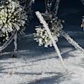Pine In Winter by Karen Wiles