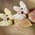 Pinewoods Milkweed Flowers by Paul Rebmann