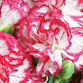 Pink And White Carnation by Sharon Talson