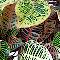 Pink And Yellow Croton by D Hackett