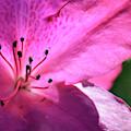 Pink Azalea In Full Bloom by Bruce Gourley