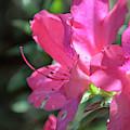 Pink Azaleas In Full Bloom by Bruce Gourley