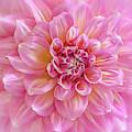 Pink Blush Dahlia by Julie Palencia