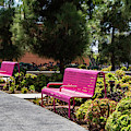 Pink Chairs At Grand Park by Roslyn Wilkins