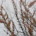 Pink Chinese Saltcedar On Misty Gray Skies by Colleen Cornelius