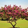 Pink Crepe Myrtle by Cynthia Guinn