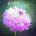 Pink Dahlia Gratitude Artwork by Anita Pollak