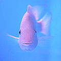 Pink Fish In Clear Blue Water by Jonas Seaman