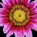 Pink Flower On Black Background by Tony Baca