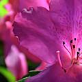 Pink Flowering Azalea by Bruce Gourley