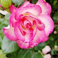 Pink Halo Rose by Rachel Hannah