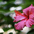 Pink Hibiscus Flower by Pablo Avanzini
