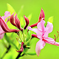 Pink Honeysuckle Flowers by Christina Rollo