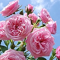Pink Patio Rose Blue Sky by Atwag