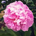 Pink Peony Bloom by Rachel Hannah