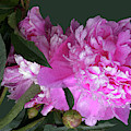Pink Peony by Deborah Eve Alastra