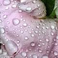 Pink Peony by Joseph Yarbrough