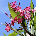 Pink Plumeria With Blue Sky by Carol Groenen