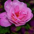 Pink Rose In The Garden by Susan Candelario