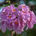 Pink Trumpet Tree, Rosy Trumpet Tree Or Pink Poui Dthn0257 by Gerry Gantt