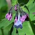 Pink Virginia Bluebells Or Virginia Cowslip Dfl0947 by Gerry Gantt