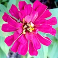 Pink Zinnia With Spider by Virginia Artho