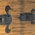 Pintail Ducks At Sunrise 2480-012219 by Tam Ryan