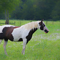 Pinto In The Pasture 1371 - Painted by Ericamaxine Price