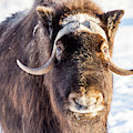 Plain Bison by Framing Places