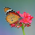 Plain Tiger Or African Monarch Butterfly Dthn0246 by Gerry Gantt