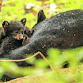 Playful Black Bear Cubs by Dan Sproul
