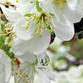 Plum Blossoms 2 by Kim Tran