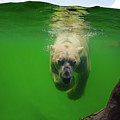 Polar Bear Underwater by Angela Doelling AD DESIGN Photo and PhotoArt
