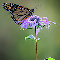 Pollinating Monarch Butterfly by Dale Kincaid