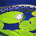 Pond Flower And Pads by Cynthia Guinn