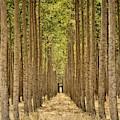Poplars In Boardman by Michelle Calkins