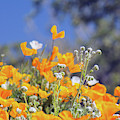 Poppies 5667-030519 by Tam Ryan