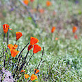 Poppies 5751-031419 by Tam Ryan
