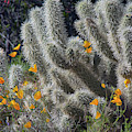 Poppies And Cholla Cactus 5544-030519 by Tam Ryan
