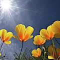 Poppies Enjoy The Sun by Chance Kafka
