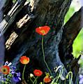 Poppy Delight by Kae Cheatham