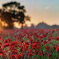 Poppy Field Sunrise 1 by James Billings