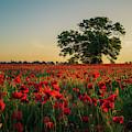 Poppy Field Sunrise 4 by James Billings